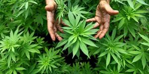 cannabis,-plante-(2014-11-17)